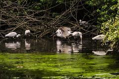 SPATOLE E RIFLESSI    ----    SPOONBILL AND REFLECTION (Ezio Donati is ) Tags: uccelli birds animali animals natura nature acqua water alberi trees stagni ponds italia parcodelticino provinciadipavia