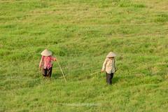 _J5K0217.0512.Ngọc Tảo.Phúc Thọ.Hà Nội (hoanglongphoto) Tags: asia asian vietnam northvietnam people dailylife 2 two grass oldperson oldwoman walk oldmanwalking canon canoneos1dsmarkiii canonef70200mmf28lisiiusm hànội phúcthọ ngọctảo người ngườigià bàgià haibàgià bãicỏ đibộ bàgiàđibộ cuộcsống đờithường walkonthelawn đibộtrênbãicỏ