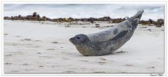 Un après-midi avec les phoques 4 (C. OTTIE et J-Y KERMORVANT) Tags: nature animaux mammifères mammifèresmarins phoque phoquecommun veaumarin merdunord allemagne