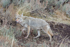Walk on by (ChicagoBob46) Tags: coyote yellowstone yellowstonenationalpark nature wildlife naturethroughthelens coth coth5 ngc npc