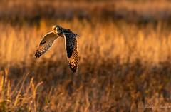 Evening lit Short eared Owl. (budgiepaulbird) Tags: shorteared seo burwell canon7dmark2 100400mark2 nestsystematictripod nestgimbalhead wildlifewatchingsupplies birdsofprey owls fens wildlifetrust