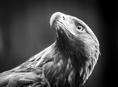 On the alert (Stu thatcher) Tags: bird prey stuart thatcher cotswold falconry center uk england canon 7d nature wildlife outside outdoor portrait black white monochrome bw