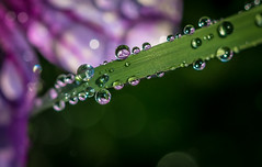 Lavender Drop,s. (Omygodtom) Tags: tamron90mm tamron water scenery classic colorful lavender d7100 bokeh dof refraction nature natural usgs flora