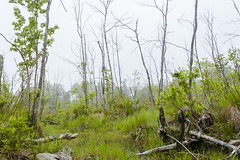 foggy-swamp-overgrown-marsh-woods-early-morning-55043887 (tanyapavlicapschyrembel) Tags: