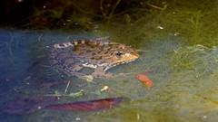 Frogs on the lake (3/3) (Franck Zumella) Tags: frog grenouille animal nature green vert verte water eau lake lac wildlife small petit