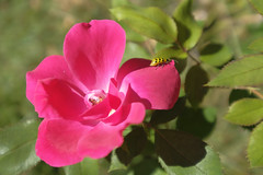 Simple Rose Bugged (Modkuse) Tags: rose flower garden nature natural insect bug fujifilm fujifilmxt2 xt2 xf1024mmf4rois fujinon fujinonxf1024mmf4rois photoart art