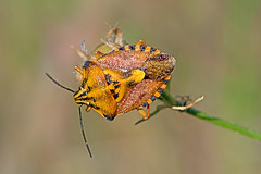 Carpocoris mediterraneus - the Red Shield Bug (BugsAlive) Tags: shieldbug punaise käfer 飞虫 แมลง besouro kever insetto böcek жук animal outdoor insects insect hemiptera macro nature pentatomidae carpocorismediterraneus redshieldbug pentatominae wildlife ardèche valleelibie lagorce liveinsects france nikon105mm bugsalive