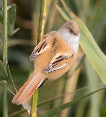 Bearded Reedling (Lutra56) Tags: beardedtit beardedreedling acrocephalusscirpaceus alkborough lincolnshire birds nature naturereserve britishbirds
