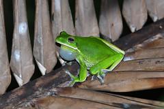 White-lipped tree frog (Oleg Chernyshov) Tags: длинноногаяквакша whitelippedtreefrog nyctimystesinfrafrenatus gianttreefrog
