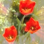 Toronto Ontario ~ Canada ~ Edwards Gardens ~ Botanical Garden ~  A cluster of  Tulips - Texture thumbnail