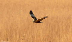 Marsh Harrier Hunting (Steve (Hooky) Waddingham) Tags: stevenwaddinghamphotography animal bird british countryside flight prey wild wildlife