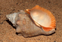 Red-mouthed rock snail (Stramonita haemastoma haemastoma f. consul) under side (shadowshador) Tags: redmouthed rock snail stramonita haemastoma f cf var consul neomura eukaryota opisthokonta holozoa filozoa animalia eumetazoa bilateria protostomia lophotrochozoa mollusca conchifera gastropoda gastropod gastropods caenogastropoda caenogastropod caenogastropods neogastropoda neogastropod neogastropods muricoidea muricidae rapaninae conchology malacology invertebrate invertebrates taxonomy scientific classification biology sea snails shell shells sand sandy beach wildlife life