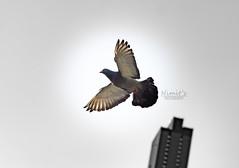 Birdie (nimitrastogi) Tags: fly flight flying bir birds pigeon wings