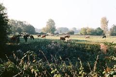 Oxford, Iffley Meadows (caterina0908) Tags: oxford iffley meadows ektar 100 cows autumn