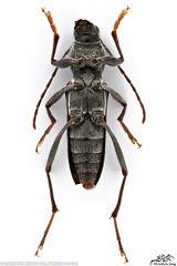 Chlorophorus latofasciatus (Motschulsky, 1860) 우리범하늘소 (Hyunkyu Jang) Tags: coleoptera 딱정벌레목 cerambycidae 하늘소과 chlorophorus 범하늘소속 latofasciatus 우리범하늘소 motschulsky 1860