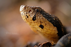 Atropoides nummifer (Matthieu Berroneau) Tags: atropoides nummifer atropoidesnummifer trip mexique mexico sony alpha macro nature france herpéto wildlife animal animaux ff 24x36 full frame a7ii 7ii 7mk2 sonyilce7m2 herping herpeto reptile reptilian reptilia serpent serpente snake serpentes snakes serpiente field serpents sonya7ii sonya7mk2 sonyalpha7mark2 sonyalpha7ii 90 28 fe f28 g oss fe90f28macrogoss sonyfesonyfe2890macrogoss objectifsony90mmf28macrofe sel90m28g herpmex tepocho jumping pit viper jumpingpitviper