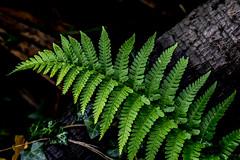 fern (rich lewis) Tags: fern nature richlewis