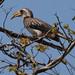 Pale-billed Hornbill Lophoceros pallidirostris neumanni