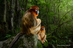 Wildlife Photographer Of The Year 2018 (Marsel van Oosten) Tags: asia china qinlingmountains mammal golden snubnosed monkey iucn redlist endangered species light forest painterly surreal winner award wildlifephotographeroftheyear marselvanoosten squiver phototour workshop hair fur orange yellow glow firstprize tail trees