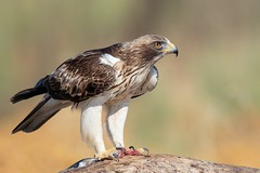 Booted Eagle (Phil Gower Bird Photography) Tags: booted eagle nature wildlife extremadura