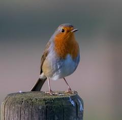 Robin (xDigital-Dreamsx) Tags: bird naturephotography wildlife fence post perch coth5