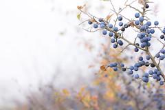 The Crop (siebensprung) Tags: landscape landschaft nature natur schlehe blackthorn prunusspinosa fruit frucht beere blau blue shrub strauch gehölz wild wildobst autumn herbst