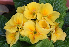 DSC_2158 Primrose (PeaTJay) Tags: nikond750 sigma reading lowerearley berkshire macro micro closeups gardens outdoors nature flora fauna plants flowers primrose primroses
