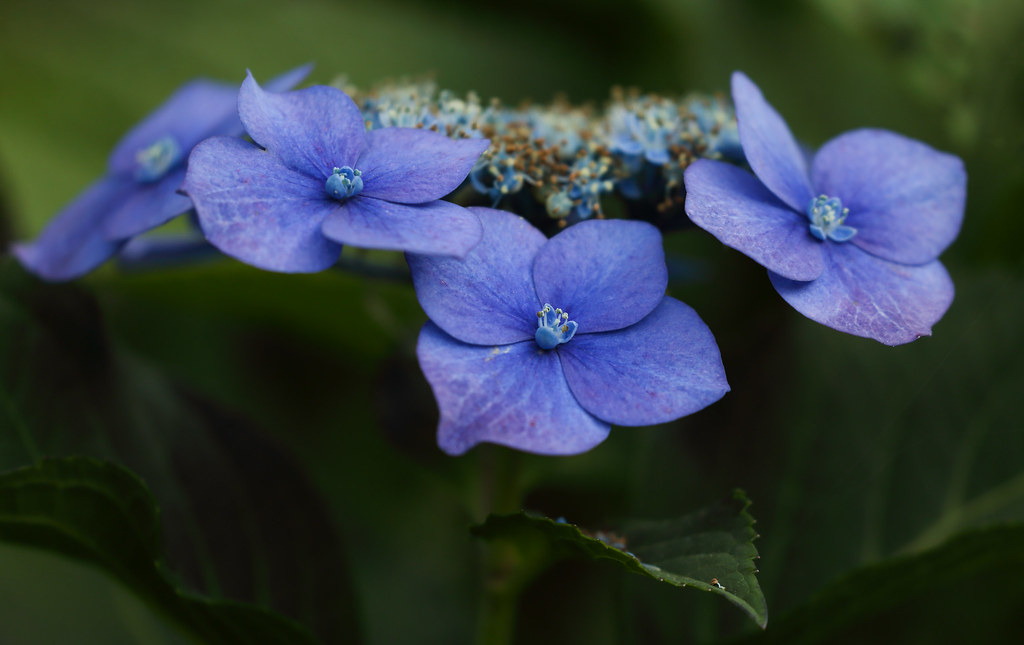 Late Blues (AnyMotion) Tags: Mountainhydrangea Tellerhortensie  Hydrangeaserrata Blossom Blüte Leaves Blätter 2018 Anymotion