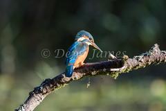 20180924 Forest Farm - 7 (Dewi James) Tags: forestfarm wales birds bird kingfisher cardiff