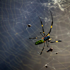 SidewaysCloseUpSpidey (mehtab94) Tags: nature spider spiders summer fall wildlife natgeo scary halloween insect web cobweb colors garden