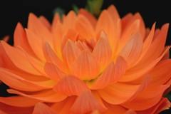Dahlia (Seventh Heaven Photography **) Tags: 127th shrewsbury flower show shropshire england nikon d3200 august 2014 flowers flora floral blooms dahlia orange
