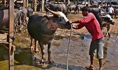 INDONESIEN, Sulawesi, Büffel- und Schweinemarkt bei Bolu, INDONESIA, Sulawesi, buffalo and pig market near Bolu/Rantepao, 17698/10716 (roba66-on vacation) Tags: sulawesi urlaub reisen travel explore voyages rundreise visit tourism roba66 asien asia indonesien indonesia insel celebes island île insulaire isla bolu rantepao markt market büffelmarkt buffalomarket schweiemarkt siiere animals tiere kuh stier bull tauro taurus tier vieh