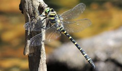 Taking a Break (Kevin Pendragon) Tags: goldringed dragonfly yellow black green banding wigs four stick water clear devon datmoor dartmeet rocks summer sun sunshine heat insect macro shadow