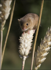 Harvest Mouse (Craig 2112) Tags: harvest mouse micromys minutus rodent mammal macro