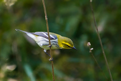 Black-throated Green Warbler (Kremlken) Tags: warblers fallmigration pennsylvania birds birding nikon500 migrants