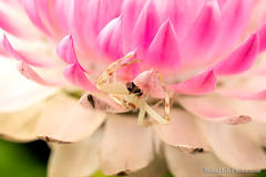 having a friend for dinner 1 (Brian M Hale) Tags: slider beetle bug insect arachnid macro extreme closeup close up prey predator flower tower hill botanic botanical garden boylston ma mass massachusetts new england newengland usa brian hale brianhalephoto guacfuser