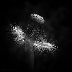 Dance Ballerina Dance (iPhilFlash) Tags: richmond vancouver flower macro monochrome outdoor britishcolumbia garrypointpark outdoors steveston canada nature dandelion blackandwhite seedpod ca