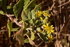 Chrysanthemoides monilifera (galanhsnu) Tags: chrysanthemoidesmonilifera chrysanthemoides osteospermummoniliferum osteospermum calenduleae asteroideae asteraceae asterales whalelookoutpoint gordanbaycentral southafrica boneseed bitoubush