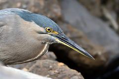 Striated Heron (Butorides striata) (Ian Colley Photography) Tags: queensland bird canoneos7dmarkii ef500mmf4lisusm striatedheron butoridesstriata