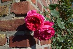 Autumn roses (petrOlly) Tags: europe europa germany deutschland erkelenz haushohenbusch bauernmarkt farmersmarket autumn fall flower flowers rose roses nature natura przyroda