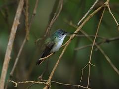 Andean Emerald (Oleg Chernyshov) Tags: andeanemerald amaziliafranciae amaziliafranciaecyanocollis андскаяамазилия