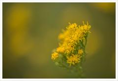Fiore 249 (Outlaw Pete 65) Tags: macro closeup fiore flower colori colours giallo yellow verde green natura nature nikond750 sigma105mm collebeato lombardia italia