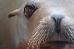 Sealion Eye (Marion_Sc) Tags: fiona otarie sea lion animal mammifères mammal animalia cute marineland antibes marin nikon sealion pinnipède pinniped oeil eye sweet innocence mignon 55300mm mammifère french riviera d5200 californie californian