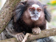 af1809_5507 (Adriana Füchter ... thank you for 6 Million Views) Tags: adrianafüchter mamífero ambiente natural photography vida wildife amazing mammal macaque brasileira brazilian primatescallimiconidae naturaleza animais animals marmoset blackeartufted saguis soim blackeartuftedmarmoset macacodepequenoporte callithrixpenicillata natureza fauna micoestreladetufospretos saguidetufospretos primata brasil macaco símio monkey selvagem wildlife floresta bicho creature looking criatura