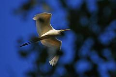 Большая белая цапля. (tam6524) Tags: цаплябелая greatwhiteheron egrettaalba bird sky tree nature animal
