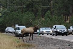 Elk Jam On Evergreen Parkway (fethers1) Tags: elk bullelk evergreen coloradowildlife