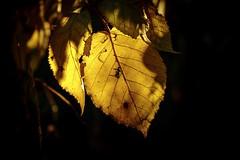 October's Gold (wowafo) Tags: sonyflickraward sonyalpha6000 herbstlaub laub herbst goldeneroktober golden autumn fall october oktober