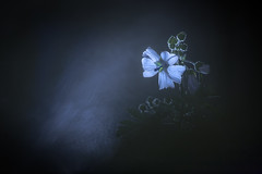 Light and dark (Elias macro proxy photographies) Tags: nature ambiance dark light lumière sombre canon6d sigma105macro macro proxy nuit nigth mauve malva alba blanc blanche pluie eau water bleu blue