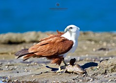 Guarding its catch (Ant & Steph) Tags: birds birdsofprey wanderingeagles reef raptors iluka nsw catch brahminykite
