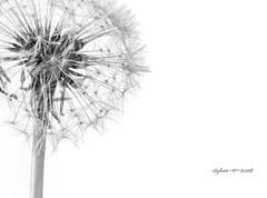dandelion - WEEK 0NE (7/10/18) (Sy at sswhite11) Tags: seeds delicate flower white dandelion art artistic shape blackwhite monotone simple